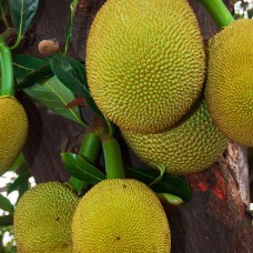 Jackfruit is the largest tree borne fruit in the world.
